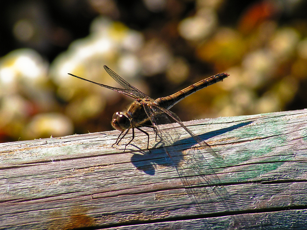 Dragonfly on wood stick