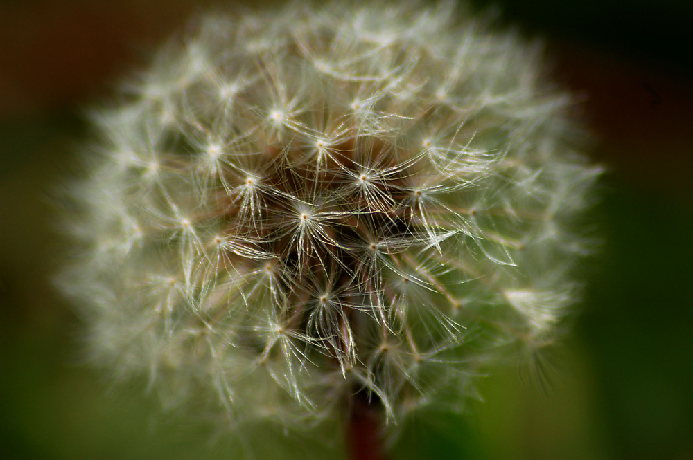 Close look dandelion