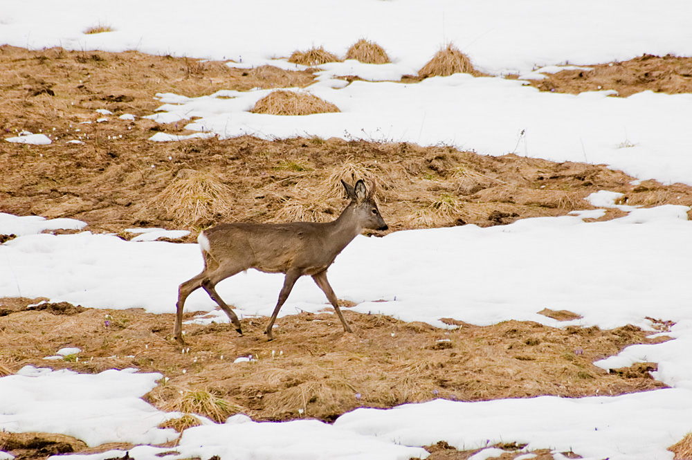 Deer in top mountains