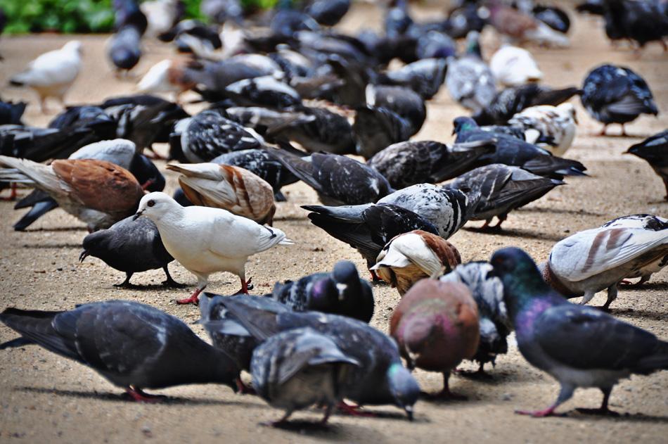 Pigeons in Malaga